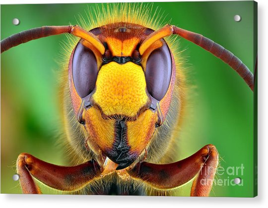 The Picture Shows Hornet Vespa Crabro Acrylic Print