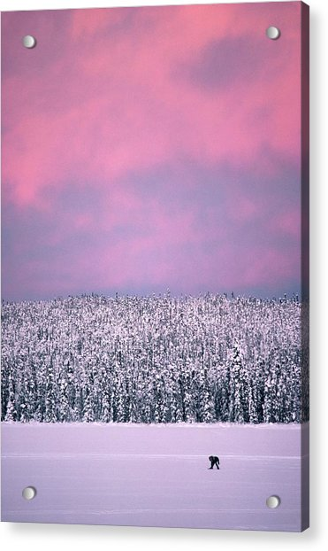 Trapper In Alaska, United States - Acrylic Print by Jean-erick Pasquier