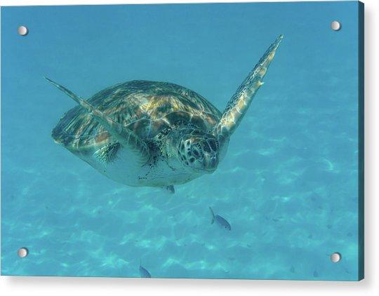 Turtle Approaching Acrylic Print