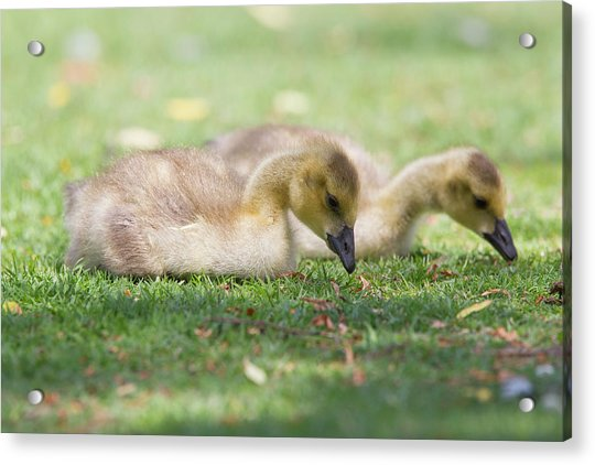 Two Goslings In Grass Acrylic Print