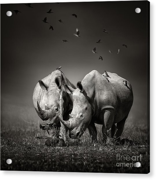 Two White Rhinoceros In The Field With Acrylic Print