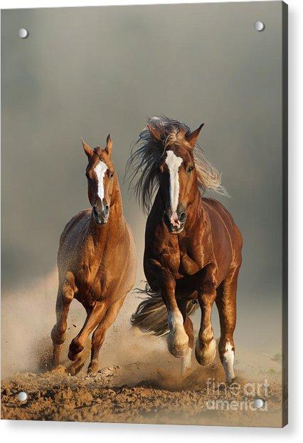Two Wild Chestnut Horses Running Acrylic Print