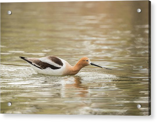 Usa, Colorado American Avocet Swimming Acrylic Print by Jaynes Gallery