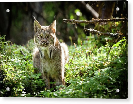 Acrylic Print featuring the photograph Watchful Mama Lynx by Tim Newton