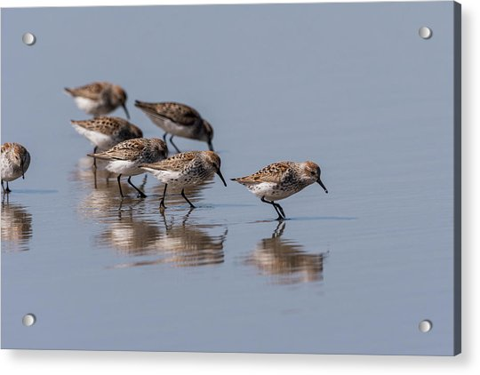 Western Sandpipers And Reflection Acrylic Print