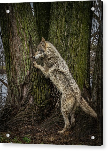 What's In There Acrylic Print