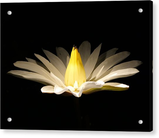 White Lily At Night Acrylic Print