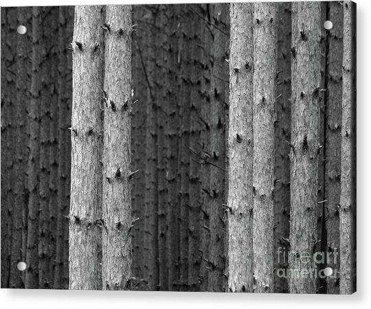White Pines Black And White Acrylic Print
