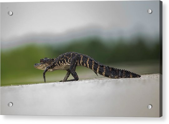 Why Did The Gator Cross The Road? Acrylic Print