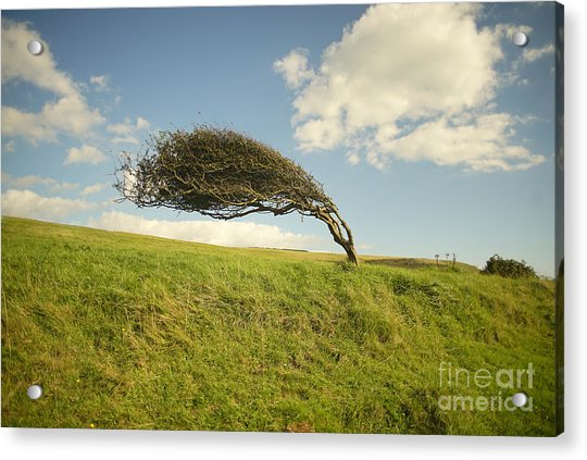 Wind Swept Common Hawthorn With Berries Acrylic Print