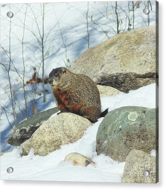 Winter Groundhog Acrylic Print