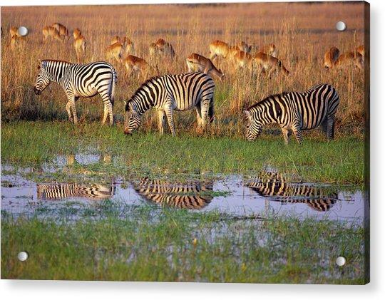 Zebras In Botswana Acrylic Print