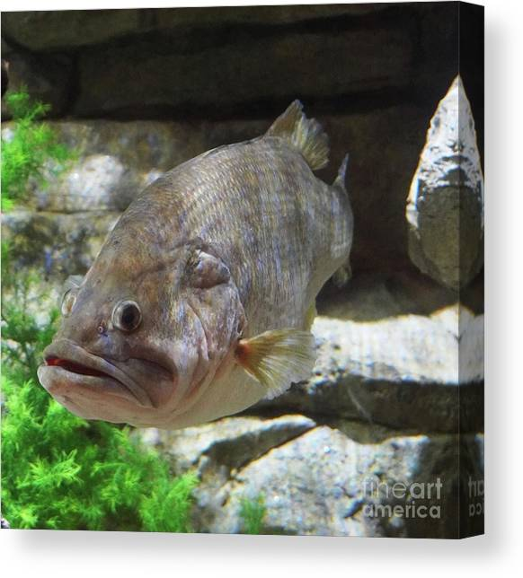 Striped Bass Fishing Canvas Prints Page 5 Of 7 Fine Art America