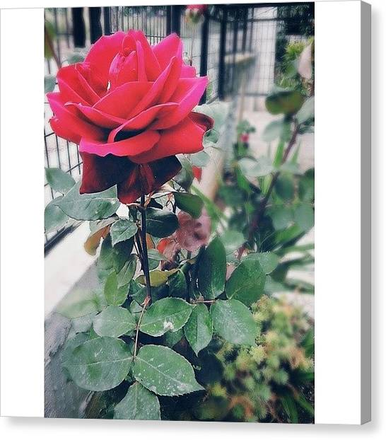 Big Red Canvas Print - 🌹 🌹 🌹  #big #red #rose by Venia Papageorgiou