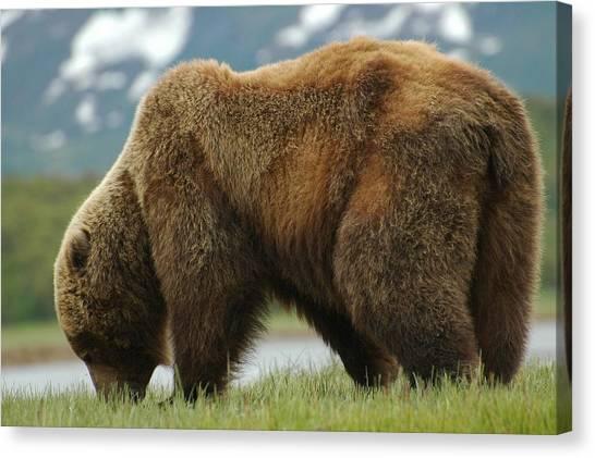 Alaska Grizzly Canvas Print