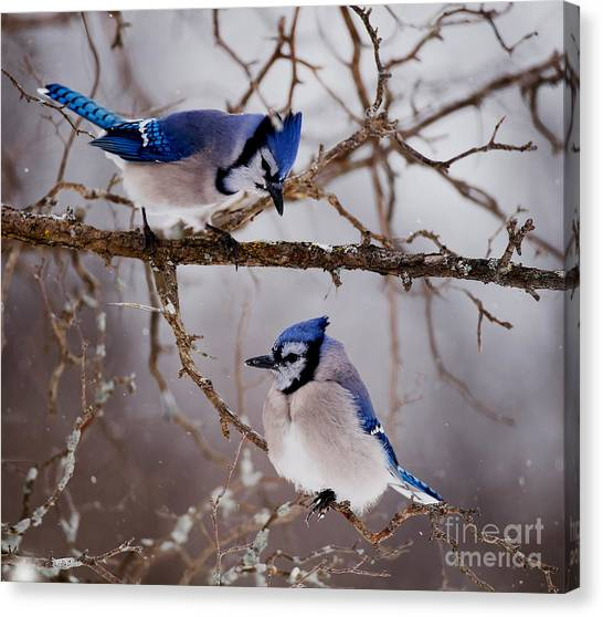Canvas Print -  Blue Jay Pictures 61 by World Wildlife Photography