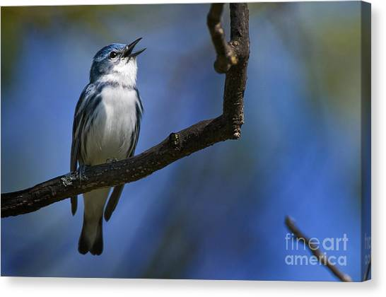 Canvas Print - Cerulean Warbler Pictures 10 by World Wildlife Photography
