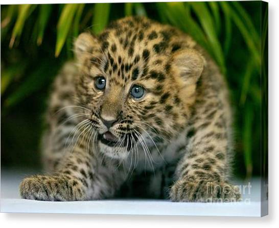 Cheetah Cub Im Gonna Getcha Canvas Print
