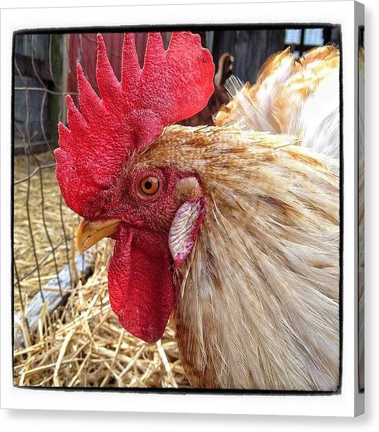 Roosters Canvas Print - 🐓 #chicken #rooster ? #farm by Erica Milligan