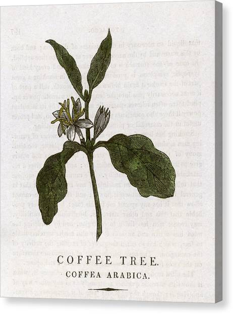 Coffee Plant Canvas Print -  Coffee Plant         Date 1814 by Mary Evans Picture Library