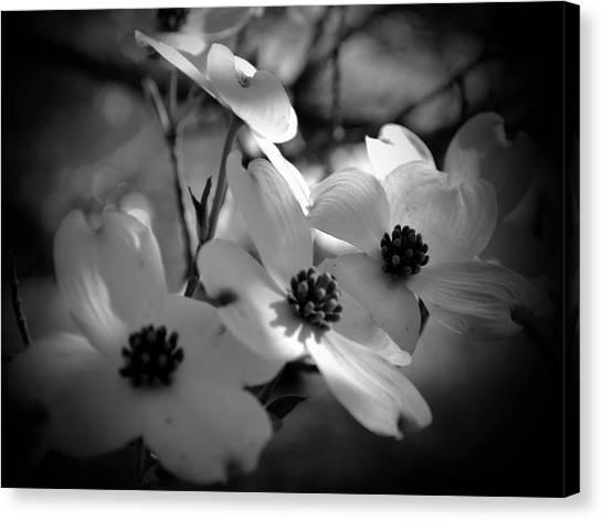 Dogwood Blossoms-bk-wh-v Canvas Print