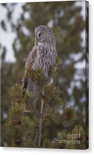 Great Gray Owl 1 Canvas Print by Katie LaSalle-Lowery