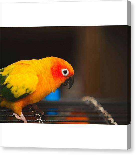 Tropical Birds Canvas Print - 🐦🐾 #lara #sunconure #sun #conure by Oriol Sanchez