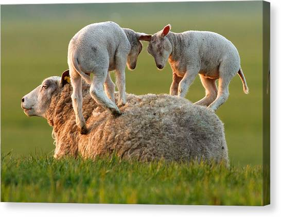 Sheep Canvas Print -  Leap Sheeping Lambs by Roeselien Raimond