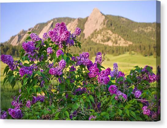 Lilac Bush Canvas Print -  Lilac Flowers - Boulder Colorado by Aaron Spong