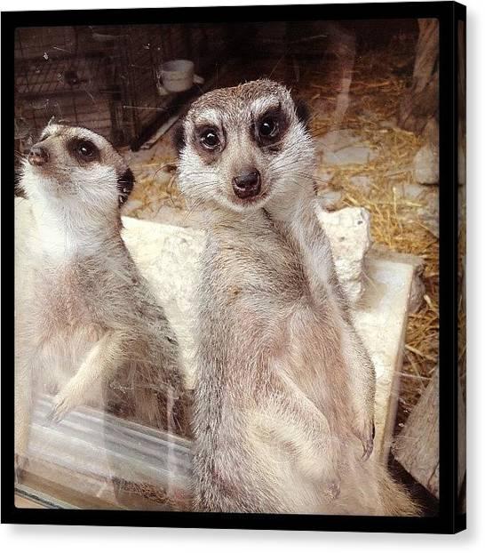 Meerkats Canvas Print - 😍 #meerkat #cute #pet #wantone #love by Nina Kalkkinen