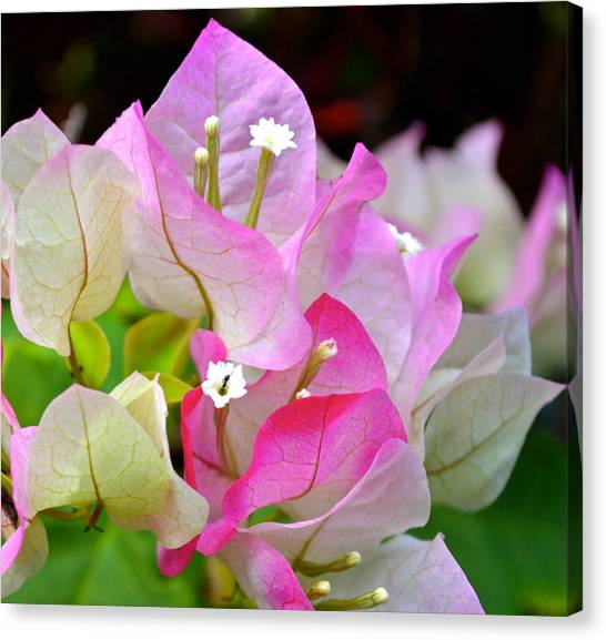 Pink  Bougainvillea ...with A Friend Canvas Print