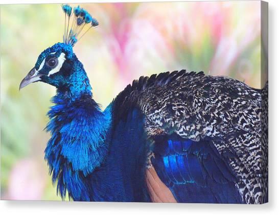 Prime Peacock Canvas Print by DerekTXFactor Creative