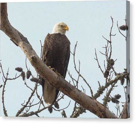 Resting Bald Eagle Canvas Print