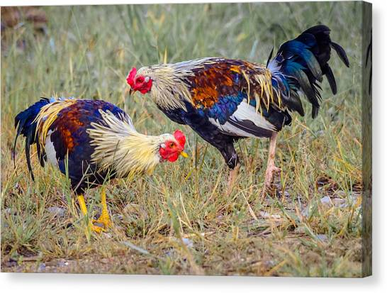 Rural Roosters Canvas Print