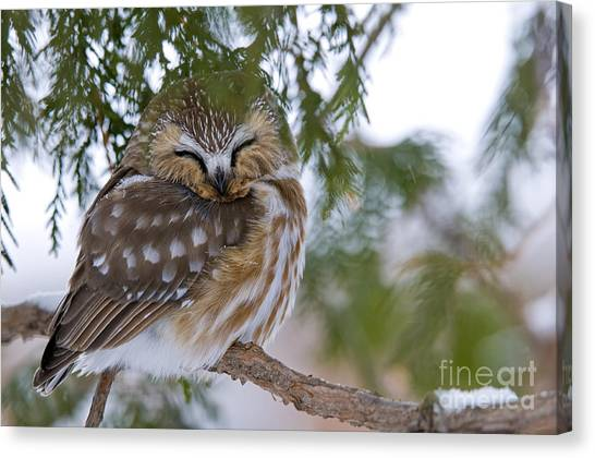 Canvas Print - Saw-whet Owl Pictures 48 by World Wildlife Photography