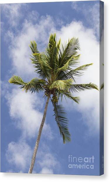 Canvas Print featuring the photograph  Sky And Palm Tree With Coconuts by Bryan Mullennix