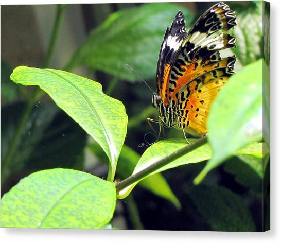 Tiger Wings Canvas Print
