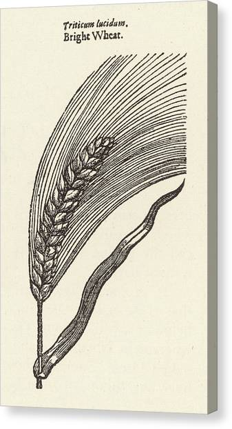 Triticum Lucidum  Bright Wheat Canvas Print by Mary Evans Picture Library