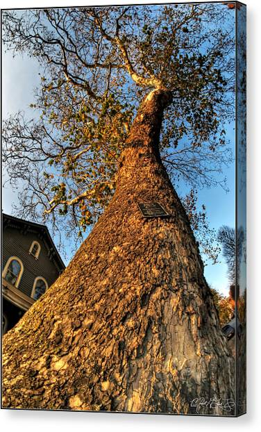 001 Oldest Tree Believed To Be Here In The Q.c. Series Canvas Print