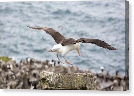 Albatrosses Canvas Print - A Black Browed Albatross by Ashley Cooper