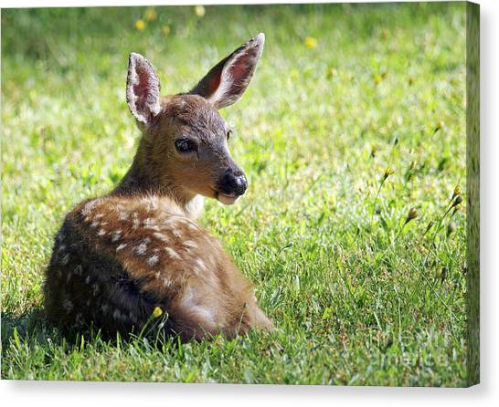 A Fawn On The Lawn Canvas Print