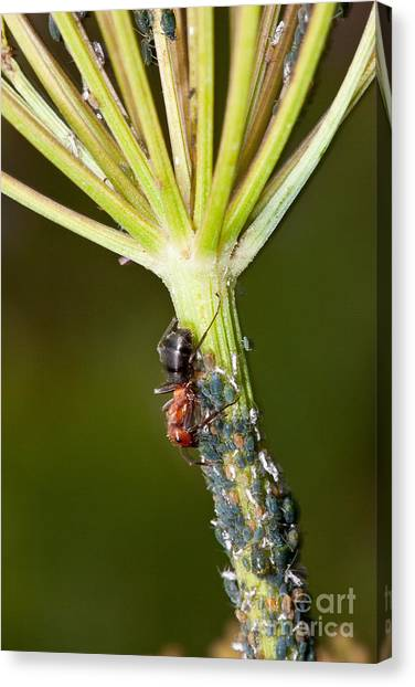 Honeydews Canvas Print - A Formica Ant Tends Aphids by Greg Dimijian