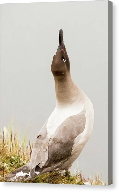 Albatrosses Canvas Print - A Light Mantled Albatross by Ashley Cooper