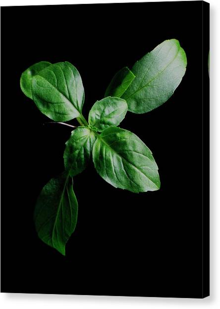 A Sprig Of Basil Canvas Print