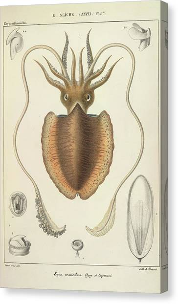 Squids Canvas Print - A Squid by British Library