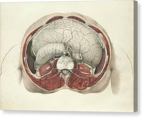 Abdomen Canvas Print - Abdominal Anatomy by Science Photo Library