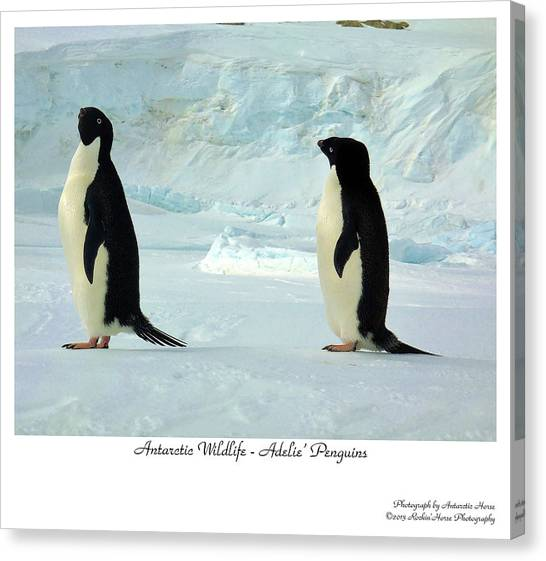 Adelie Penguins Canvas Print by David Barringhaus
