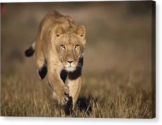 Kalahari Desert Canvas Print - African Lioness Sirga Running Kalahari by Theo Allofs