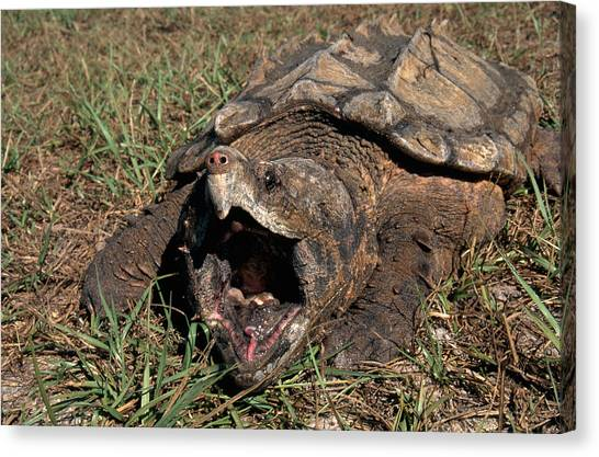 Snapping Turtles Canvas Print - Alligator Snapping Turtle by Karl H. Switak