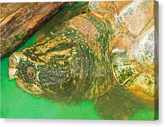 Snapping Turtles Canvas Print - Alligator Snapping Turtle by Millard H. Sharp